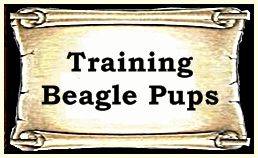 Training Beagle Pups To Chase Rabbits